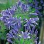 Agapanthus Headbourne Hybrids