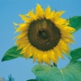 Sunflower Giant Single