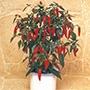 Chilli Pepper Apache F1 AGM Plants