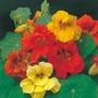 Nasturtium Gleam Mixed Seeds