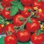 Tomato (Standard Small) Sub-Arctic Plenty