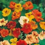 Nasturtium Jewel Mixed Seeds