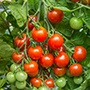 Tomato Outdoor Plant Collection