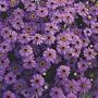 Swan River Daisy Purple Splendour