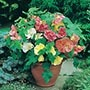Abutilon Bella Mixed F1