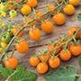 Tomato (Cherry) Sungold F1