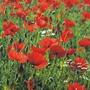 Wild Poppy Seeds