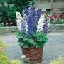 Delphinium Magic Fountains Mixed