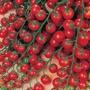 Tomato (Cherry) Sweet Million F1