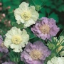 Scabious Border Mixed Seeds