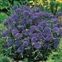 Cornflower Midget Blue