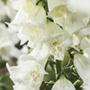 Foxglove Alba Seeds