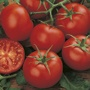 Tomato (Standard) Moneymaker