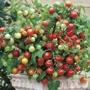 Tomato (Cherry) Maskotka