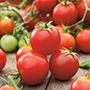 Tumbler F1 Cherry Tomato Plants