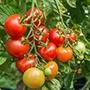 Tomato (Standard) Shirley F1