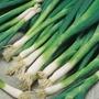 Onion (Spring) Evergreen Bunching