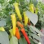 Chilli Pepper Seeds - Hungarian Hot Wax