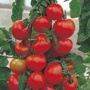 Tomato (Standard) Alicante Seeds