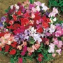 Sweet Pea Dwarf Explorer Mixed