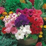 Petunia Mr F's Grandiflora Mixed F1 Seeds