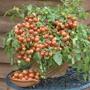 Tomato (Cherry) Cherry Falls
