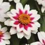 Zinnia Zahara Rose Starlight