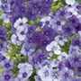 Phlox Moody Blues