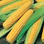 Sweet Corn Bodacious RM F1 Seeds