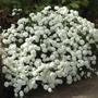 Achillea Double Diamond
