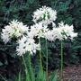 Agapanthus Getty White