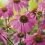 Echinacea PowWow Wild Berry Seeds