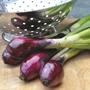 Onion (Spring) Lilia