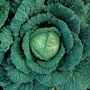 Cabbage (Savoy) Vertus 3