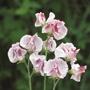 Sweet Pea Wiltshire Ripple Seeds