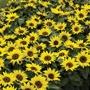 Sunflower Choco Sun