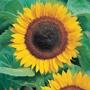 Sunflower Taiyo