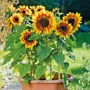 Sunflower Solar Flash F1 Seeds