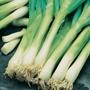 Spring Onion Feast F1