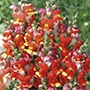 Antirrhinum Seeds - Rembrandt