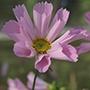 Cosmos Hummingbird Pink