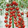 Tomato Suncherry Smile F1