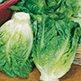 Get Growing Lettuce - Little Gem