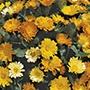 Calendula Daisy Mix