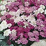 Candytuft Fairy Mix
