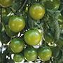 Tomato Sungreen F1 Seeds