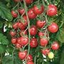 Tomato Sunpeach F1 Seeds