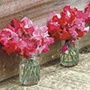 Sweet Pea Scarlet Tunic Seeds