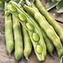 Broad Bean Express sel. Eleonora (Organic) Seeds