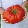 Tomato Gigantomo F1 Seeds